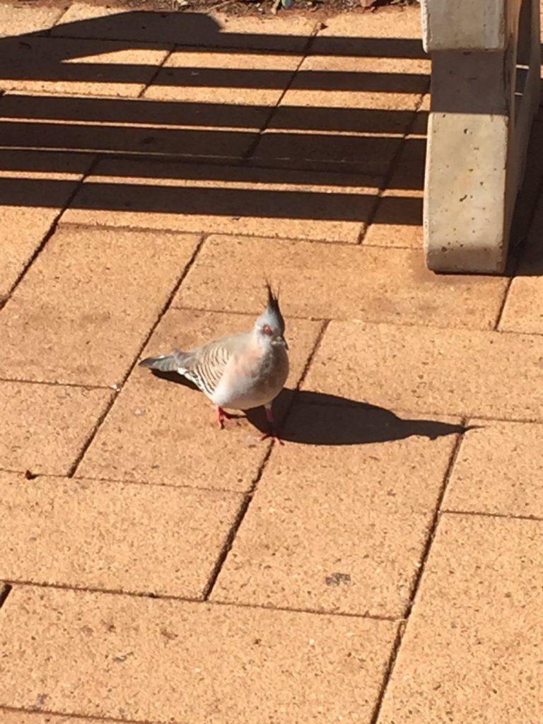 オーストラリア 鳩