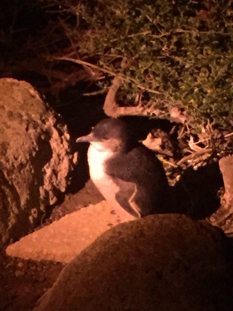 バーニー タスマニア ペンギン